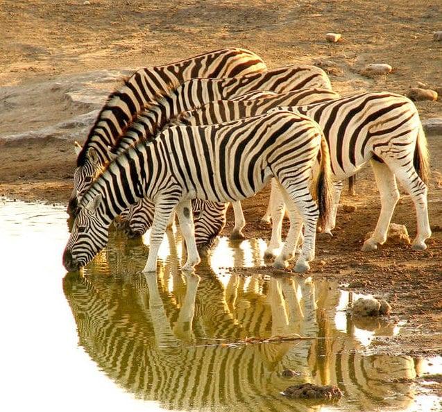 Burchell's zebra. Photo: Ron Swilling