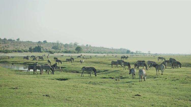 Zebra's feeding