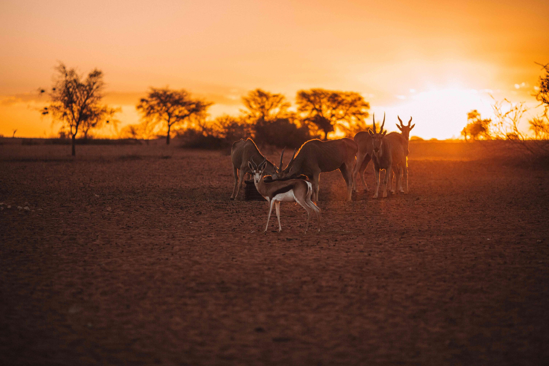 Kalahari Eland and Springbok