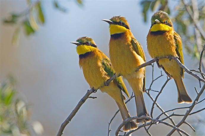 Little Bee-eater 3. DSC_5469-1