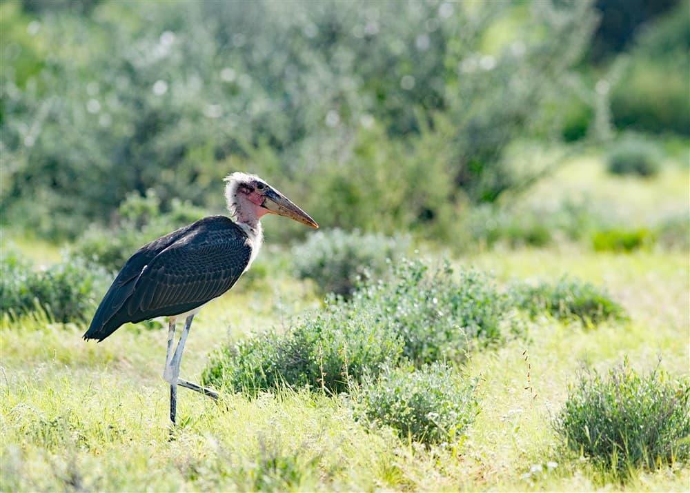 Maraboe-Stork-CAP_3920