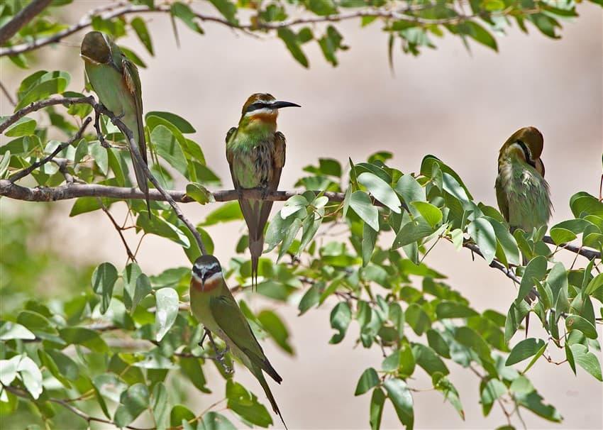 Olive-Bee-eater-DSC_9240