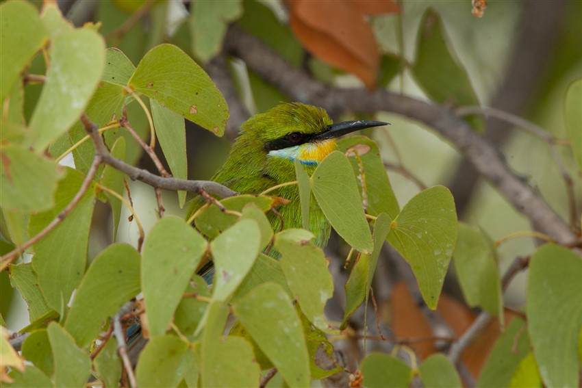 Swallow-tailed-Bee-eater-1.-DSC_3593-5