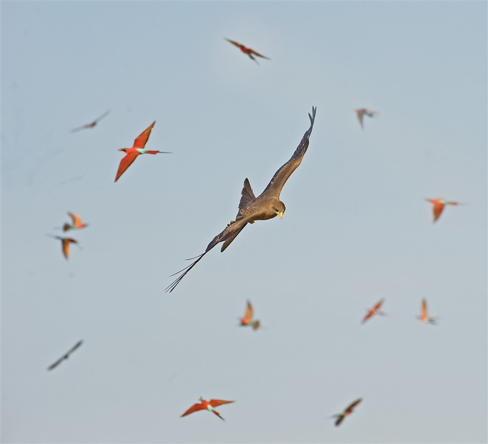 Yellow-billed-Kite-DSC_8393