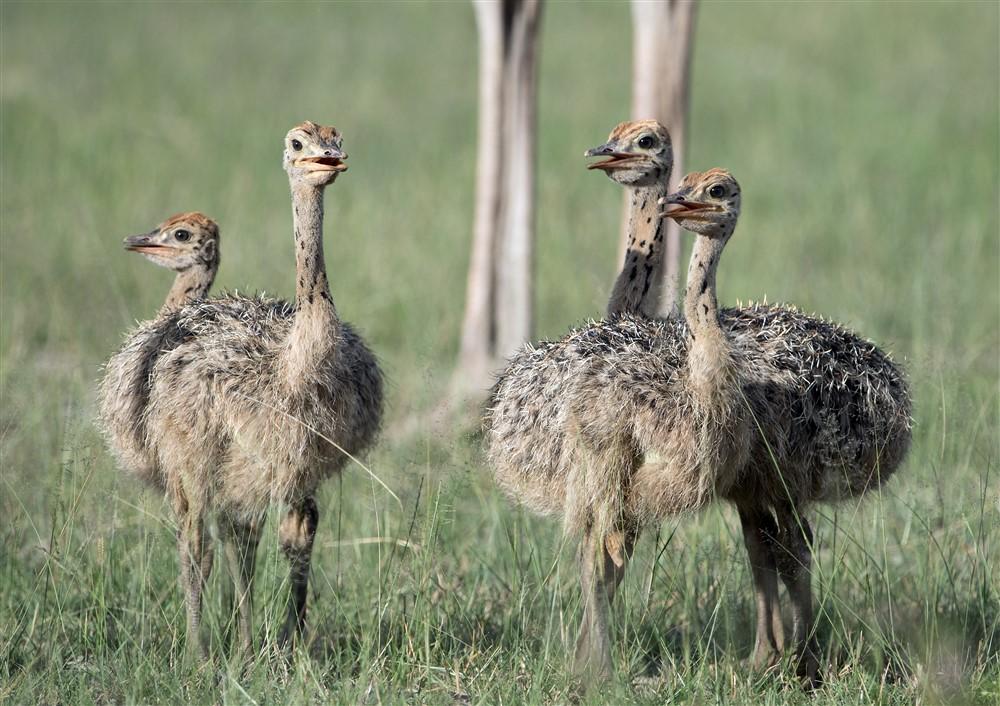 common-Ostrich-DSC_3374