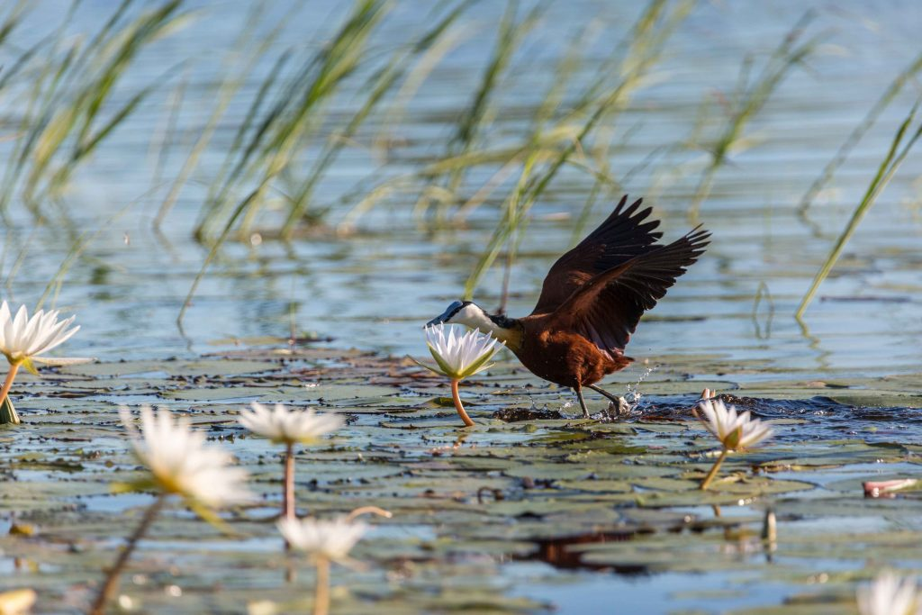 Ten fun facts about the African jacana in Namibia