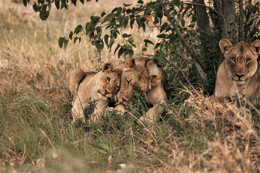 A tale of Ddi-xerreten, a lioness and children in Namibia