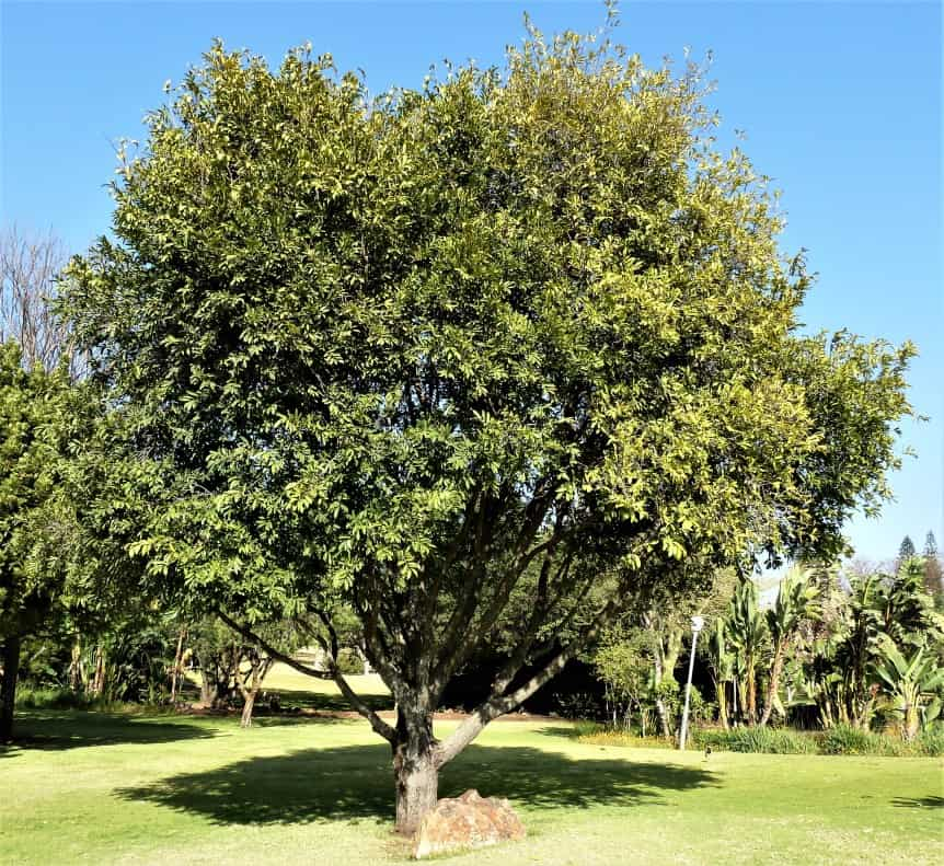 What makes a Jackalberry tree in Namibia so special?