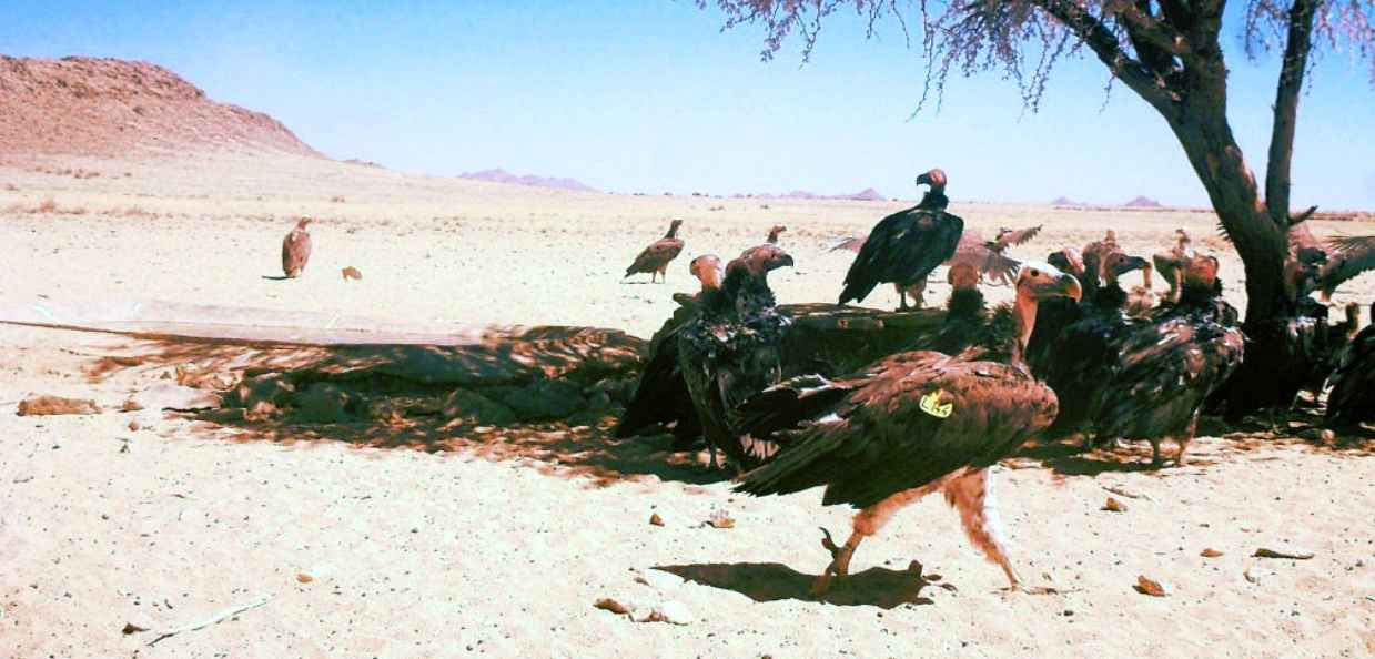 Lappet Faced Vultures