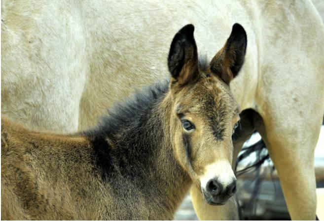 Mule Stallions