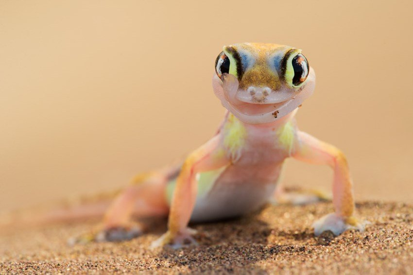 Why does the Namib Sand Gecko have webbed feet?