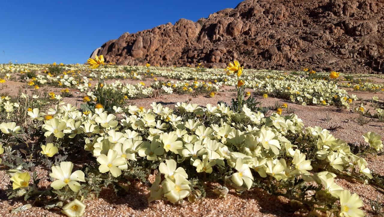 Klein Aus Vista Wildflower