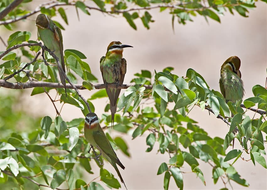 Olive-Bee-eater